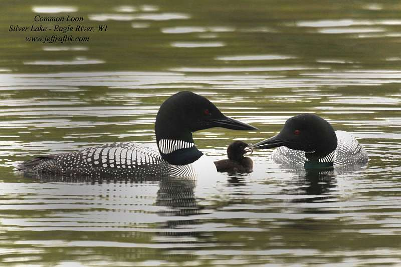 common loon images. Eagle River Loons